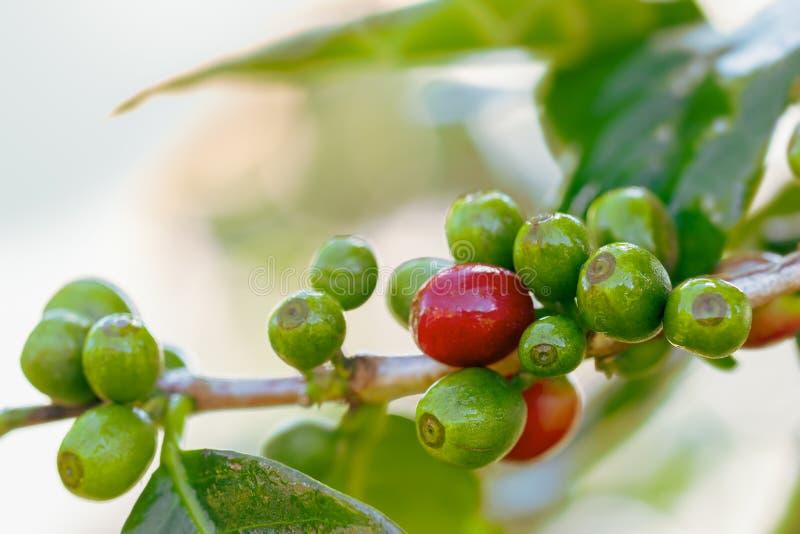 Caffè fresco del primo piano sugli alberi e sulle gocce di acqua fotografia stock libera da diritti