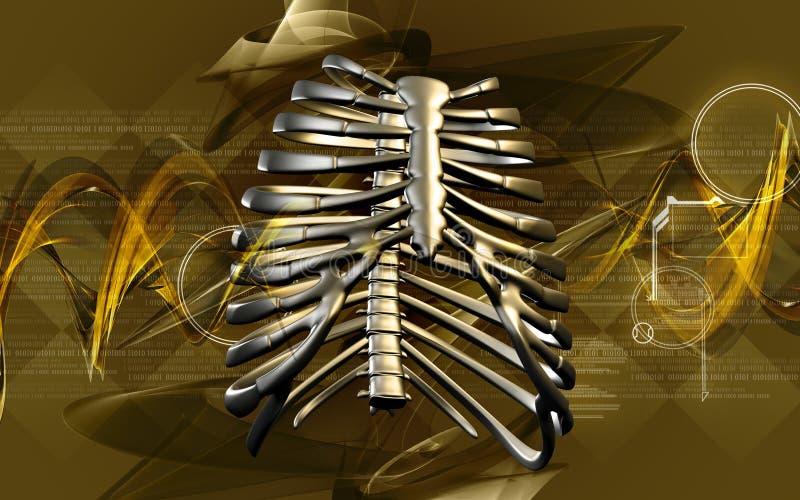 Cage thoracique illustration stock