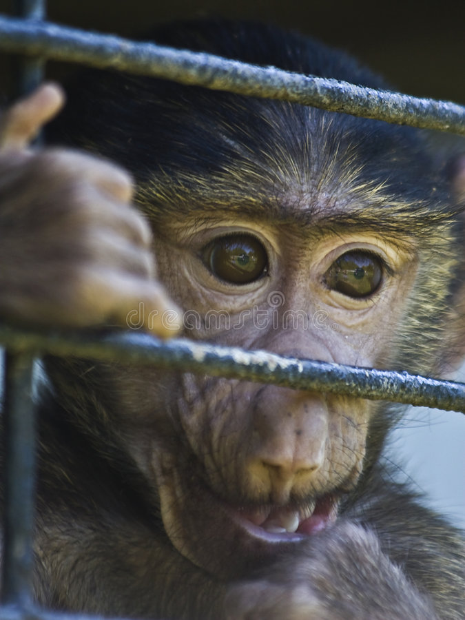Download Caged baby baboon stock image. Image of depression, monkey - 5211305