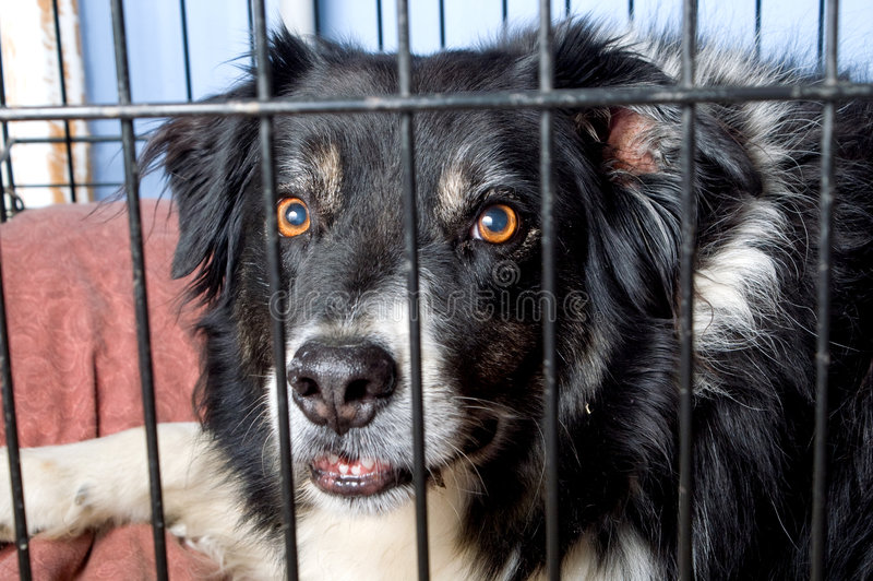 Caged Border Collie stock photography