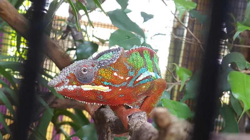 Caged Chameleon royalty free stock images