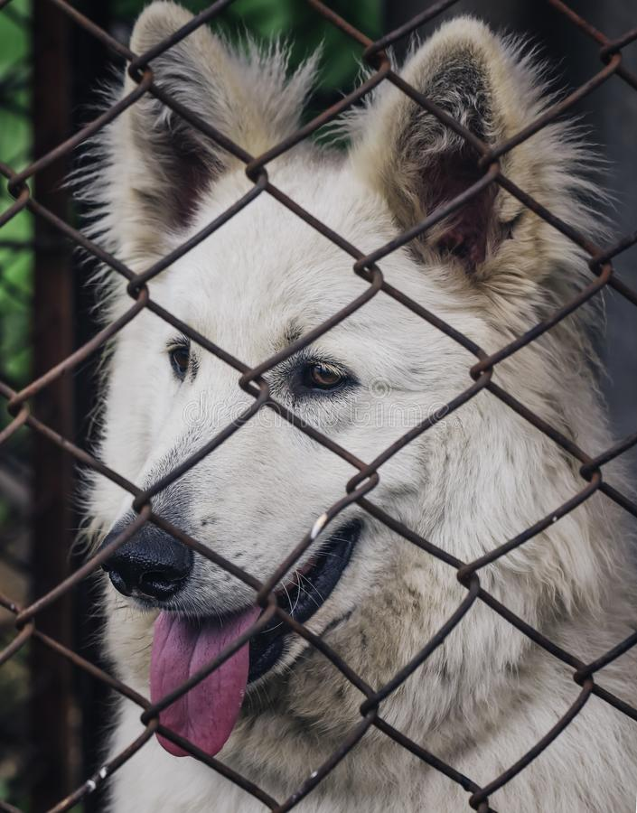 Caged dog, with sad face. dog in shelter eyes of an abandoned animal.  royalty free stock image