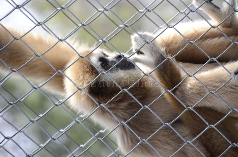 Download Caged Gibbon Royalty Free Stock Photography - Image: 23830737