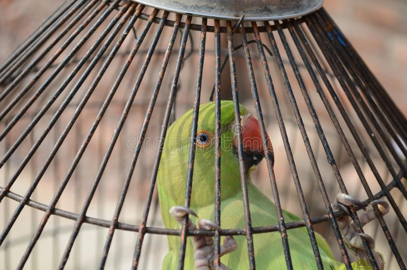 A caged green parrot looking out royalty free stock photography