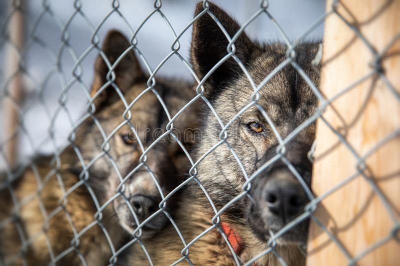 Caged husky sled dogs in Svalbard stock photo
