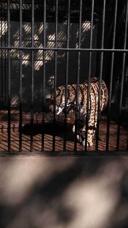 Caged Jaguar royaltyfria bilder