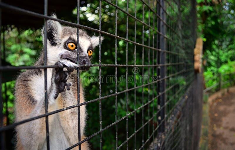 Caged Lemur stock photo