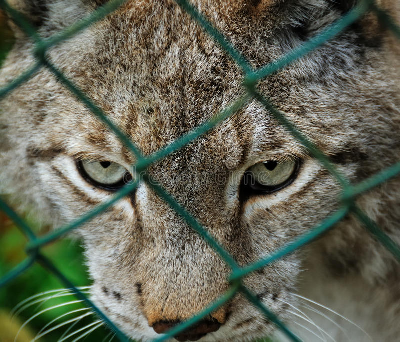 Download Caged Lynx Royalty Free Stock Image - Image: 11762426