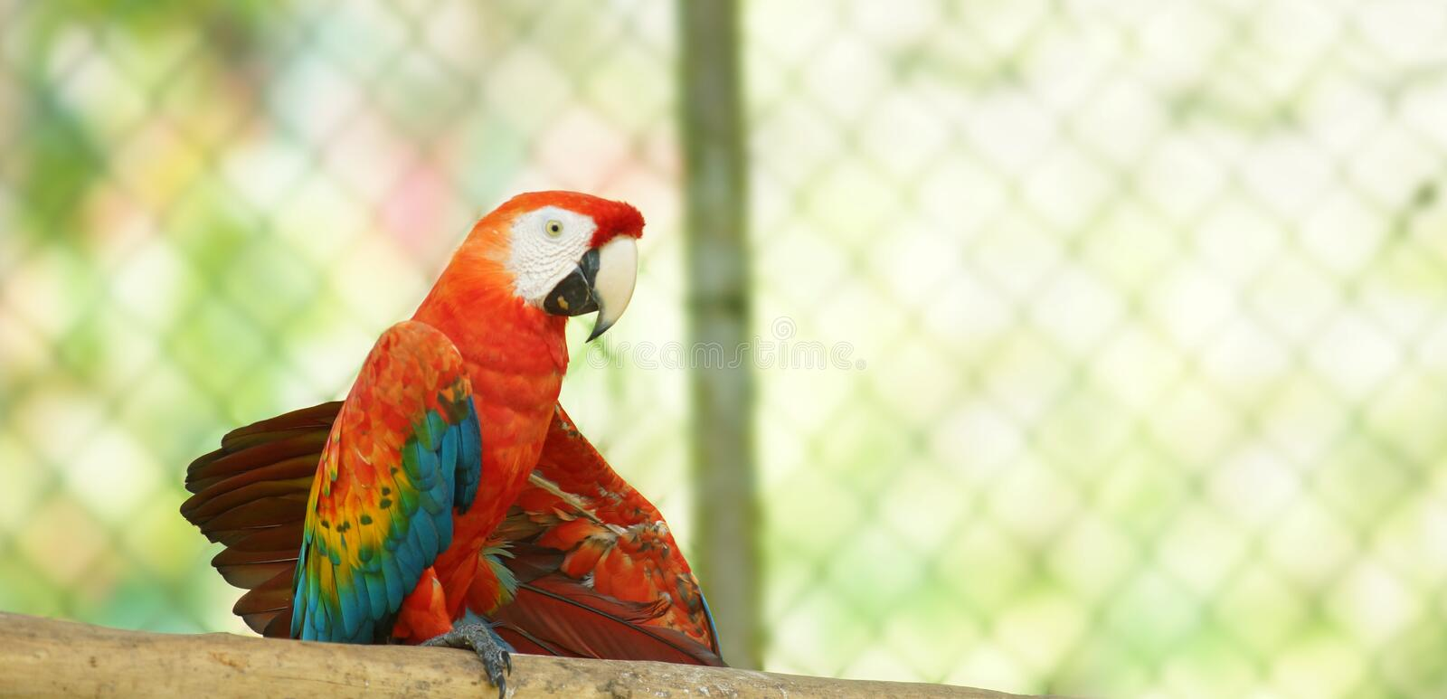 Caged macaw on a branch in Ecuadorian amazon. Common names: Guacamayo or Papagayo royalty free stock image