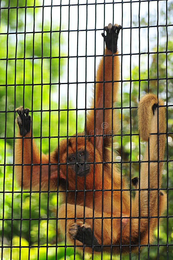Caged Monkey royalty free stock image