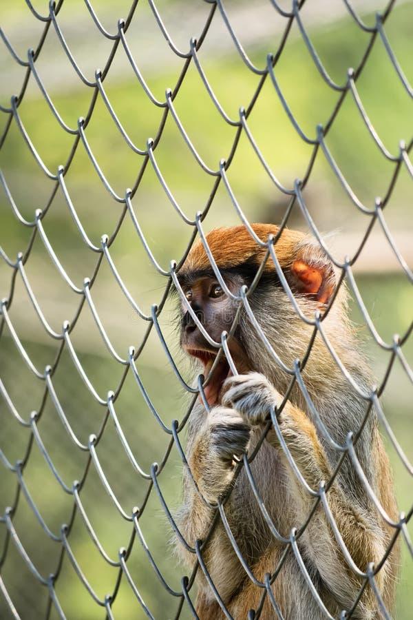 Caged monkey stock photos