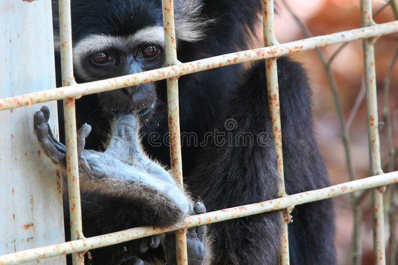 Caged monkey looks outside with thumb in mouth royalty free stock photography