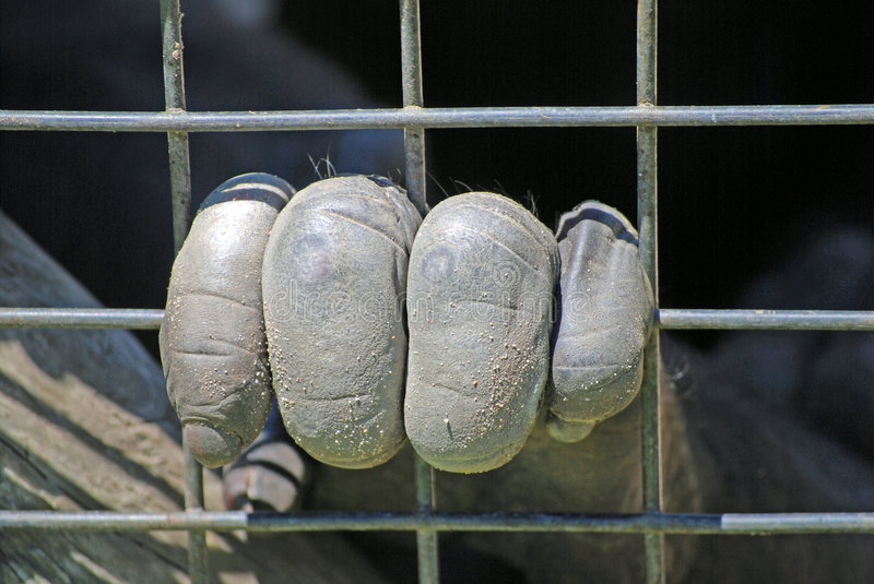 Download Caged primates hand stock image. Image of part, hold, great - 5072075