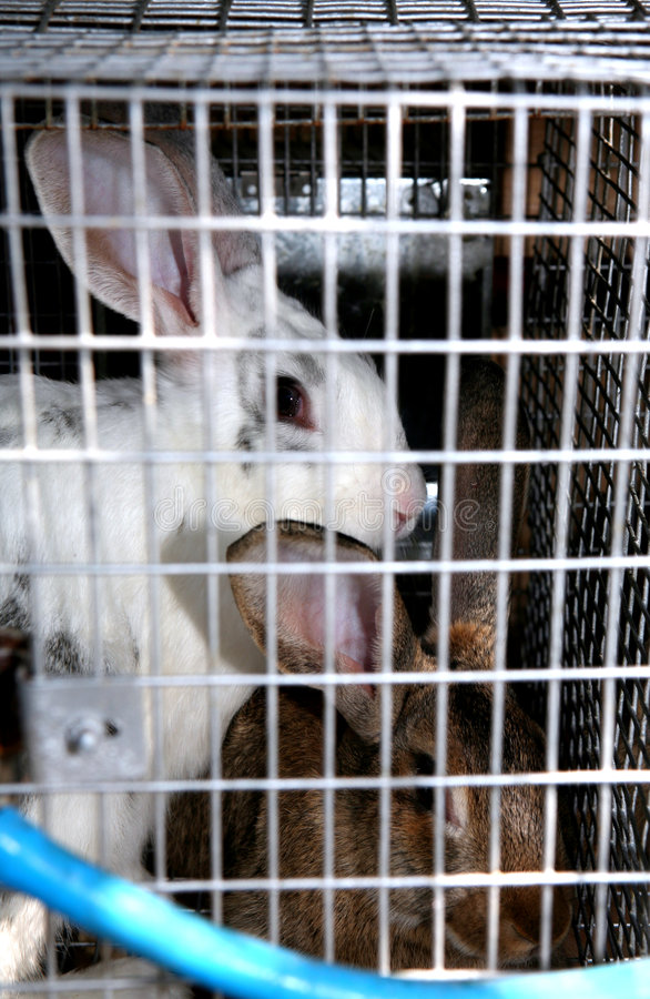 Caged rabbits royalty free stock photography