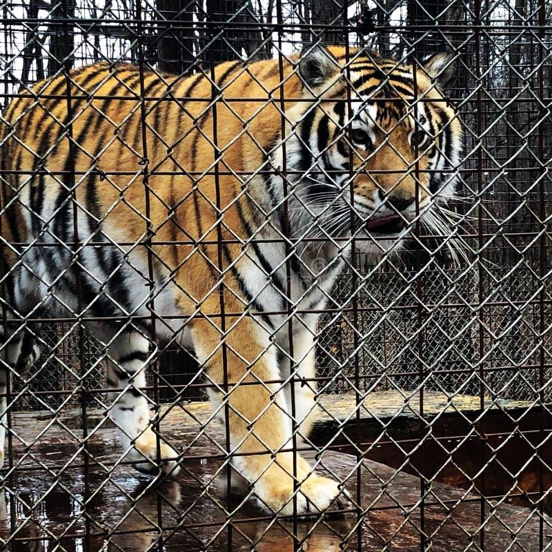 Caged tiger arkivbilder
