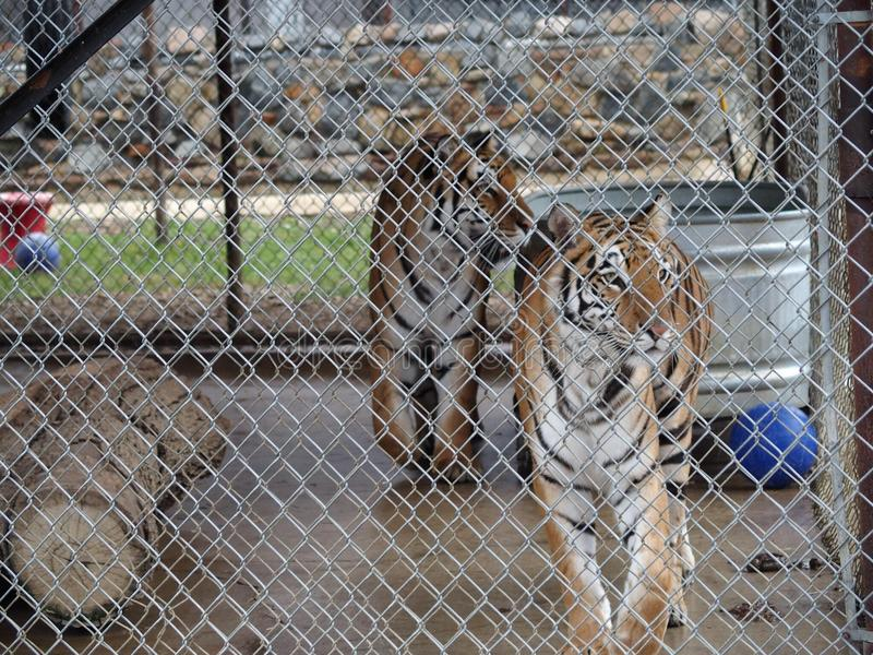Caged tigrar royaltyfria bilder
