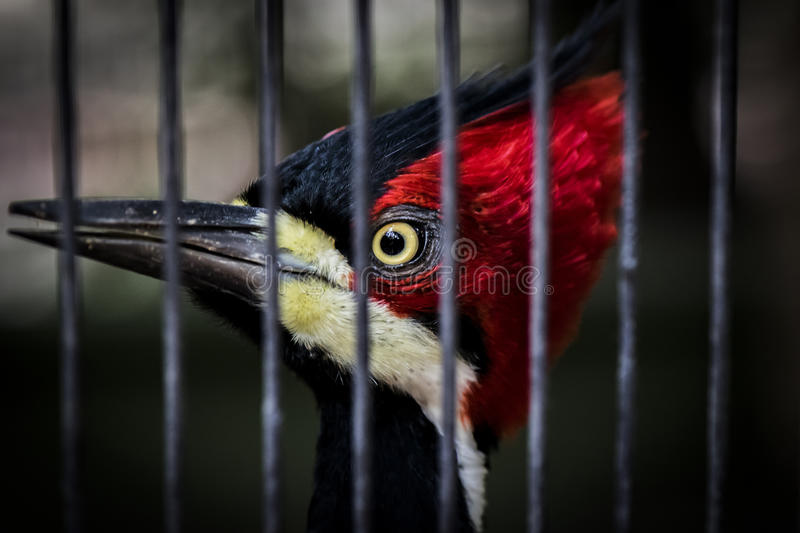 Caged woodpecker. Beautiful caged woodpecker looking directly at you through its cage royalty free stock photos