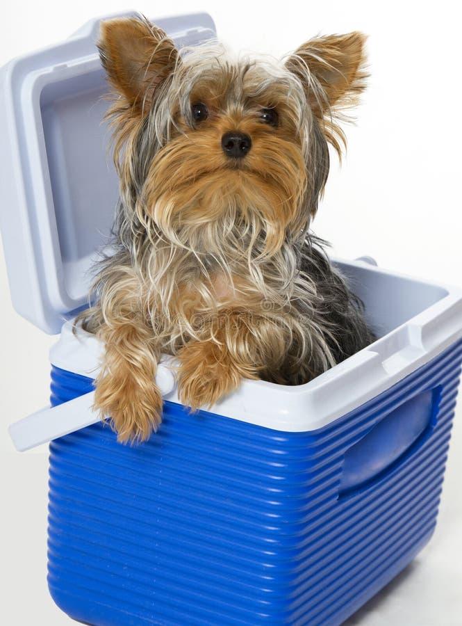Cagnolino nel dispositivo di raffreddamento fotografia stock