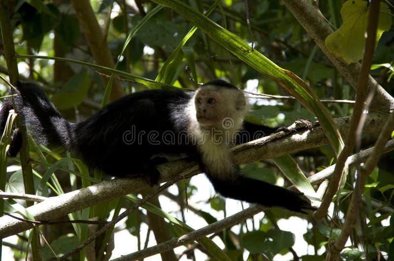 Cahuita国家公园,连斗帽女大衣猴子 库存图片