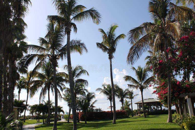 caicos drzewek palmowych turkowie zdjęcie royalty free