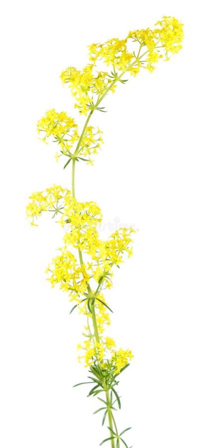 Caille-lait jaune et x28 ; Verum& x29 de gaillet ; d'isolement sur le fond blanc Plante médicinale image libre de droits