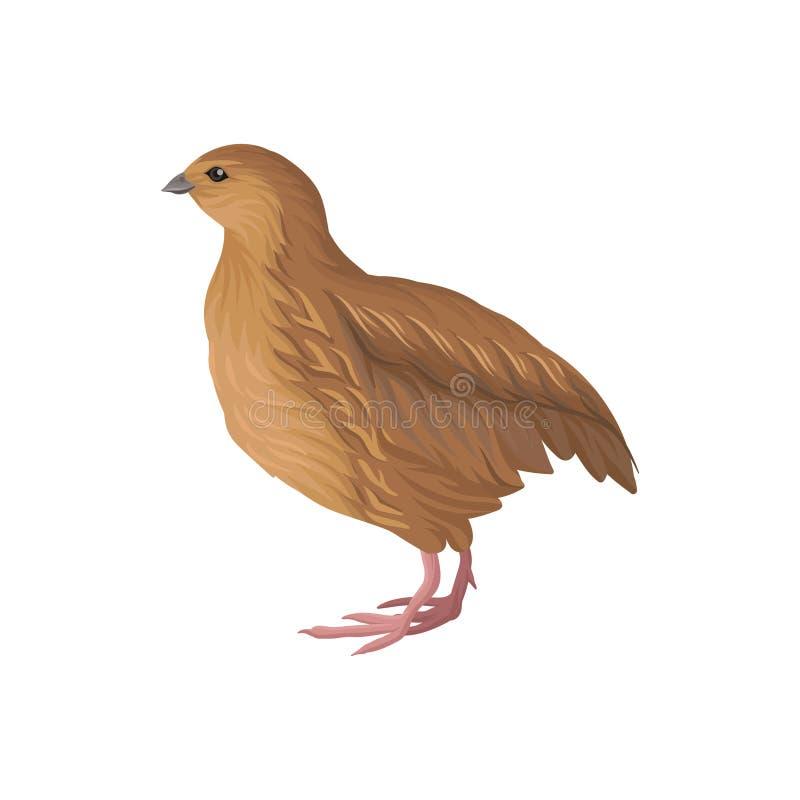 Cailles, illustration de vecteur d'élevage de volaille sur un fond blanc illustration stock