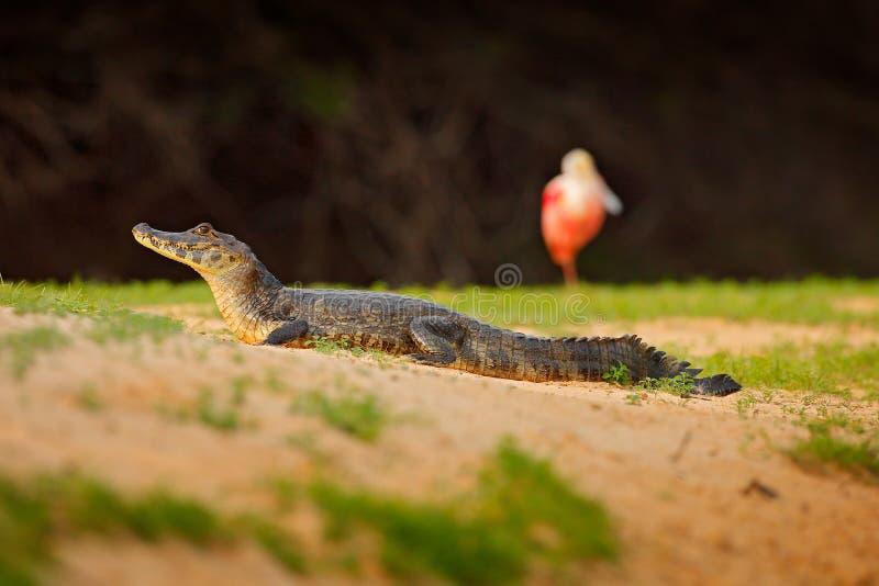 Caimán con el pájaro del silbido de bala, spoonbill Caimán de Yacare, cocodrilo en la playa con el sol de la tarde, Pantanal, el  fotografía de archivo