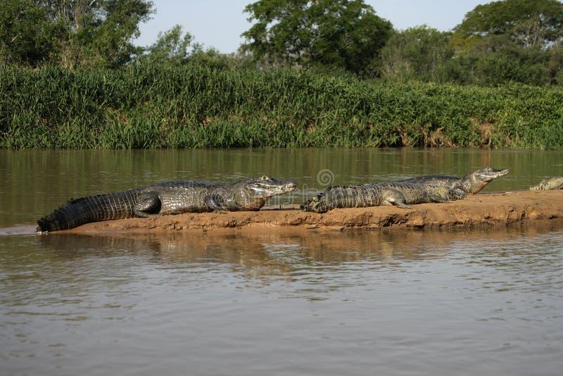 Caimão de óculos, crocodilus do caimão foto de stock