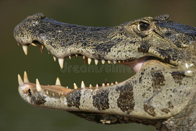 Caimão de óculos, crocodilus do caimão imagens de stock