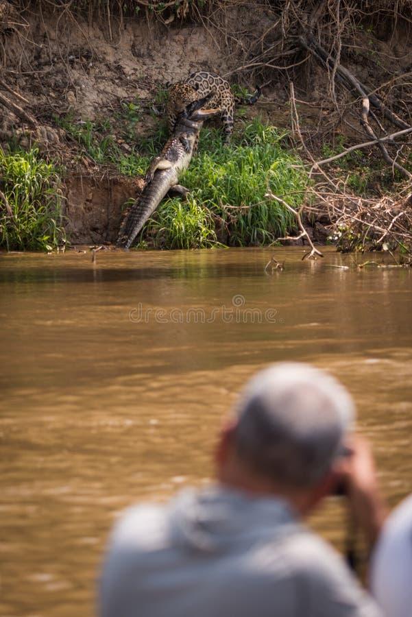 Caimão de ataque do yacare de Jaguar disparado pelo fotógrafo imagens de stock