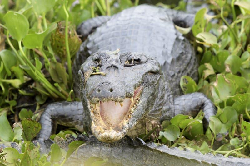 Caimão de Yacare com boca aberta fotografia de stock