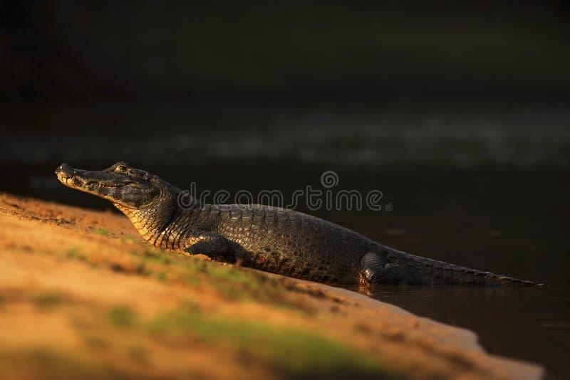 Caimão de Yacare, crocodilo na praia com sol da noite, Pantanal, Brasil imagem de stock