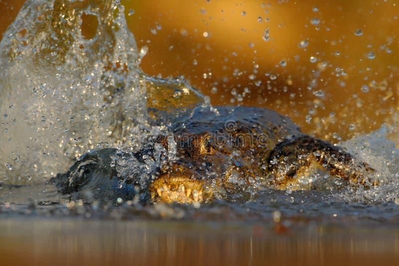 Caimão de Yacare do crocodilo, na água com sol da noite, animal no habitat da natureza, cena da caça da ação, água do respingo, P imagem de stock royalty free