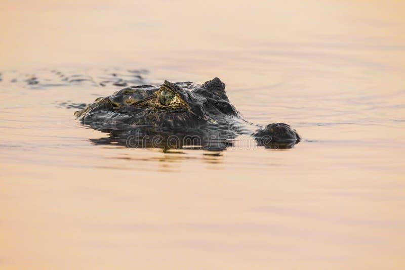 Caimão de Yacare no Pantanal imagem de stock