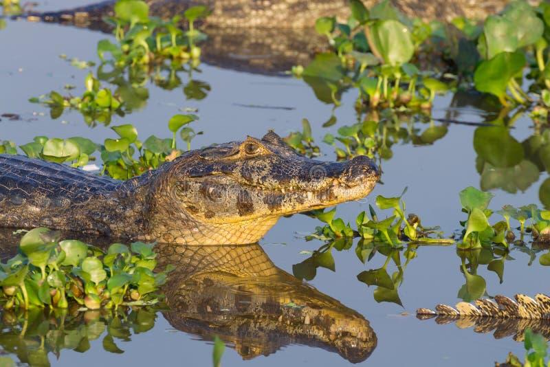 Caiman που επιπλέει σε Pantanal, Βραζιλία στοκ φωτογραφίες με δικαίωμα ελεύθερης χρήσης