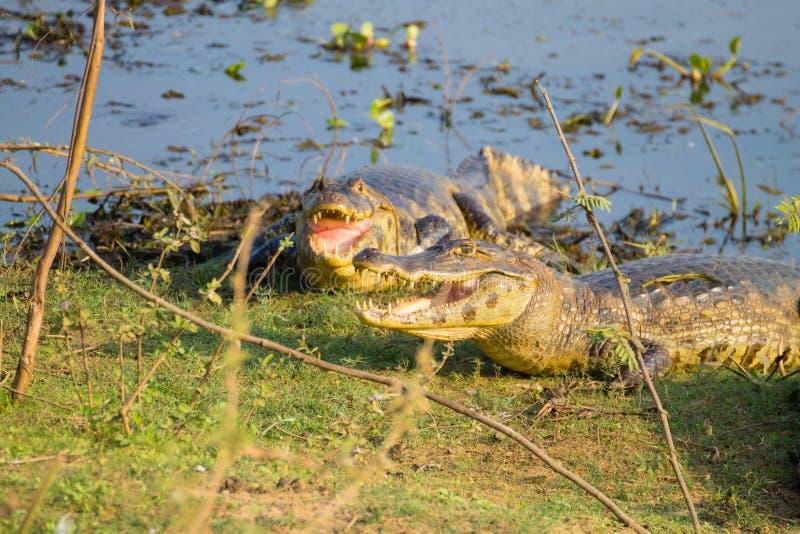 caiman который нагревает вверх в солнце утра стоковая фотография
