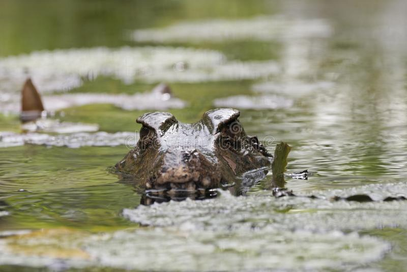 caiman στοκ εικόνες