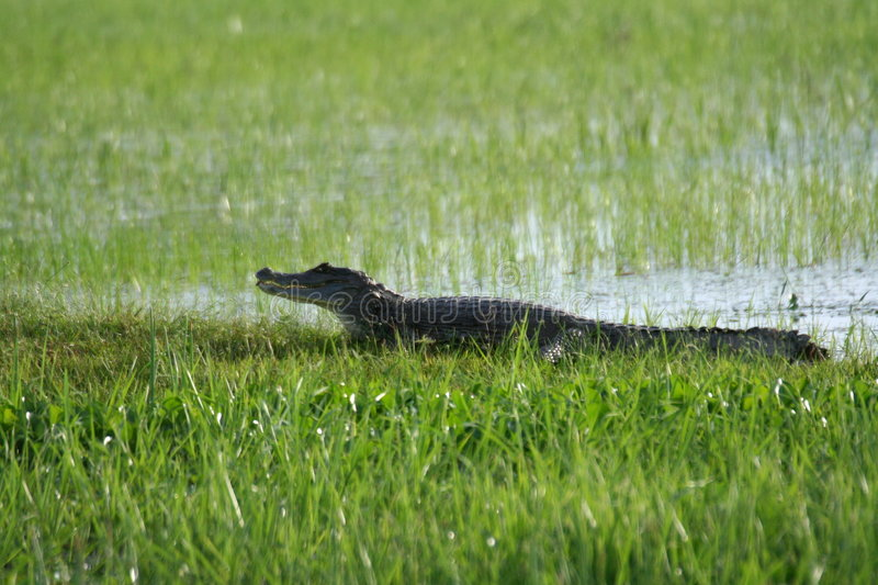 Caiman on a bank royalty free stock images