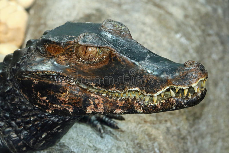 Caiman. Close up detail of Tropical Dwarf Reptile stock photography