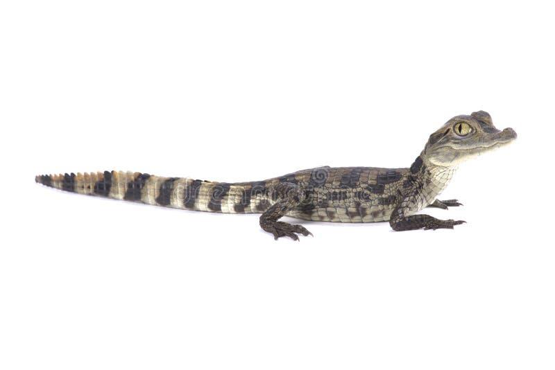 Caiman crocodilus del caimano dagli occhiali immagini stock