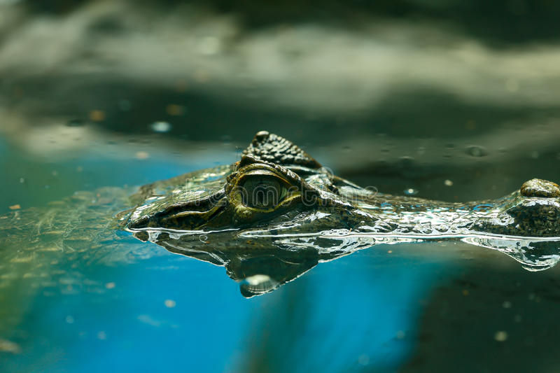 Caiman crocodilus 4. The lineage including alligators proper (Alligatorinae) occurs in the fluvial deposits of the age of the Upper Chalk in Europe, where they stock images