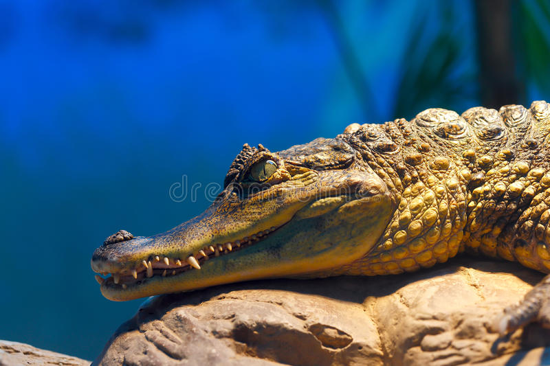 Caiman crocodilus 8. The lineage including alligators proper (Alligatorinae) occurs in the fluvial deposits of the age of the Upper Chalk in Europe, where they royalty free stock images