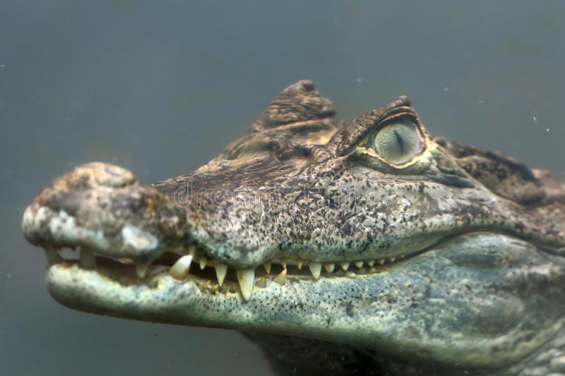 Caiman crocodilus 10. The lineage including alligators proper (Alligatorinae) occurs in the fluvial deposits of the age of the Upper Chalk in Europe, where they royalty free stock image
