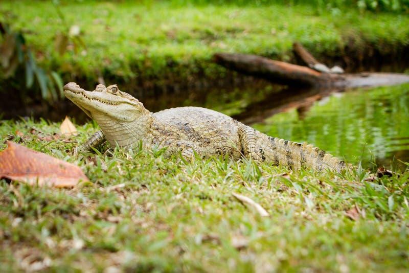 Caiman dagli occhiali (crocodilus del Caiman) dal fiume immagine stock