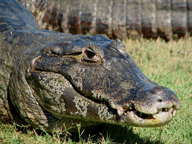 Caiman de Pantanal fotografia de stock