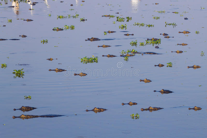 Caiman floating on Pantanal, Brazil royalty free stock photo