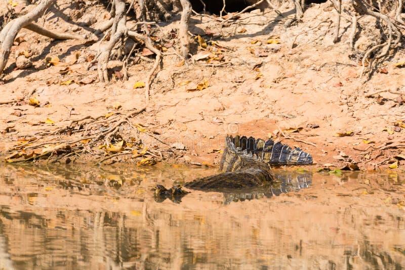 Download Caiman Floating On Pantanal, Brazil Stock Photo - Image of jofre, danger: 83711240