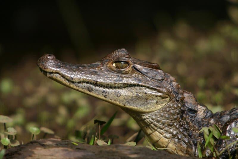 Caiman Gator4 стоковые изображения rf
