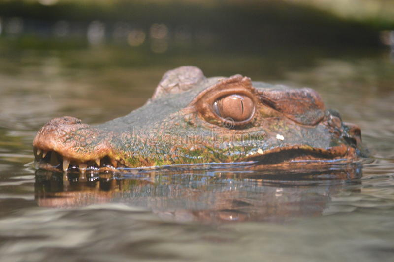 Caiman on the hunt stock images