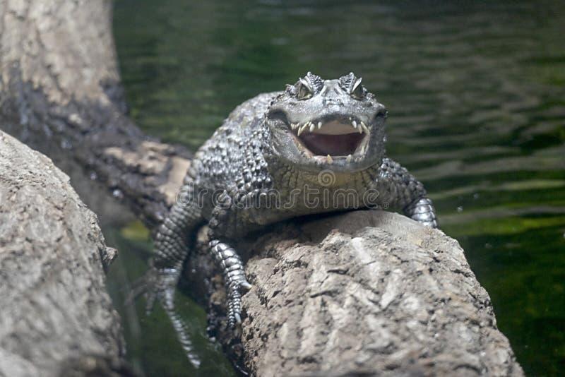 Caiman incantato allo zoo di Chester fotografia stock libera da diritti